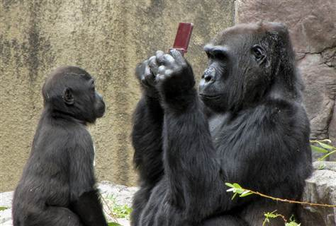 At a San Francisco Zoo, a gorilla named Bawang got a chance to play a Nintendo DSi XL when a boy dropped his game machine. Bawang's adopted son, Hansai, was hoping for a turn too. (Photo Christina Spicuzza)